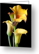 Blossoms Greeting Cards - Four calla lilies Greeting Card by Garry Gay