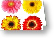 Gerber Greeting Cards - Four Gerberas Greeting Card by Carlos Caetano