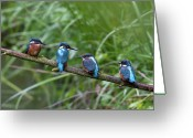 Four Animals Greeting Cards - Four Kingfishers On Branch Greeting Card by Produced by Oliver C Wright