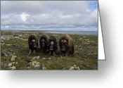 Image Type Photo Greeting Cards - Four Musk Oxen Greeting Card by Joel Sartore