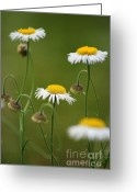 White Daisies Greeting Cards - Four Sisters Greeting Card by Julie Lueders