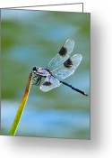 Pennant Greeting Cards - Four Spotted Pennant  Greeting Card by Melanie Moraga
