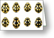 Fourteen Greeting Cards - Fourteen-spot Ladybird Colouration Greeting Card by Dr Keith Wheeler
