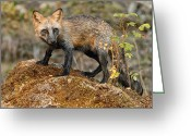 Vulpes Greeting Cards - Fox 3 Greeting Card by Wade Aiken