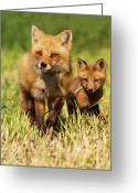 Sly Greeting Cards - Fox Family Greeting Card by Mircea Costina Photography