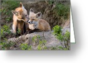 Vulpes Greeting Cards - Fox Kits Canada Greeting Card by Mark Duffy