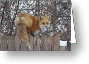 Adrienne Petterson Greeting Cards - Fox on the Fence Greeting Card by Adrienne Petterson