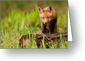 Vulpes Greeting Cards - Fox pup Greeting Card by Mircea Costina Photography
