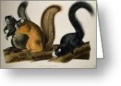 Quadruped Drawings Greeting Cards - Fox Squirrel Greeting Card by John James Audubon
