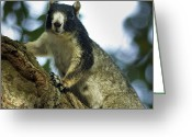 Squirrel Photographs Greeting Cards - Fox Squirrel Greeting Card by Phill  Doherty
