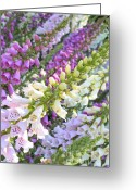 Beautiful Flowers Greeting Cards - Foxglove Card Greeting Card by Carol Groenen