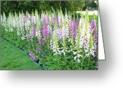 Golden Gate Park Greeting Cards - Foxglove Garden Greeting Card by Carol Groenen