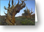 Most Greeting Cards - Foxtail Pine Tree Ancient Trees Greeting Card by Tim Fitzharris