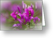 Spider Flower Greeting Cards - Fragile Tropical Flower  Greeting Card by Heiko Koehrer-Wagner