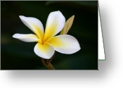 ; Maui Greeting Cards - Fragrant Hawaiian Plumeria Maui Greeting Card by Pierre Leclerc