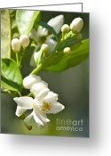 White And Green Greeting Cards - Fragrant Orange Blossoms Greeting Card by Carol Groenen