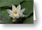 Designers Choice Photo Greeting Cards - Fragrant Water Lily Painting  Greeting Card by Don Wright