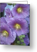 Morning Glory Greeting Cards - France, Paris Flowers Sold Greeting Card by Keenpress
