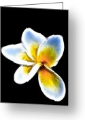 Black  Greeting Cards - Frangipani Greeting Card by John Buxton