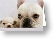 Animal Head Greeting Cards - French Bulldog Greeting Card by Copyright  Kerrie Tatarka