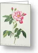Natural Drawings Greeting Cards - French Rose Greeting Card by Pierre Joseph Redoute