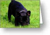 French Bulldog Prints Greeting Cards - Frenchie Play Time Greeting Card by Tap On Photo