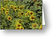 Floral Greeting Cards - Fresh Sunflowers Greeting Card by Methune Hively