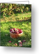 Sunlight Greeting Cards - Freshly picked apples in the orchard  Greeting Card by Sandra Cunningham