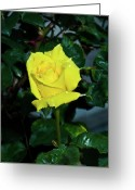 Homesickness Greeting Cards - Friendship Yellow Rose with Dewdrops Greeting Card by Douglas Barnett