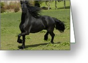 Horse Greeting Cards - Friesian horse in galop Greeting Card by Michael Mogensen