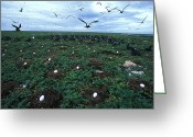 Responsibility Greeting Cards - Frigate Birds On Nests Greeting Card by Nick Norman