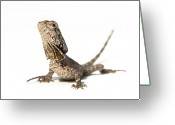 Lizard Greeting Cards - Frilled Dragon Greeting Card by Www.tommaddick.co.uk