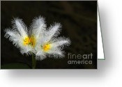 Florida Flowers Greeting Cards - Frilly White Water Lily Greeting Card by Sabrina L Ryan
