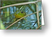 Brown Frog Greeting Cards - Frog Pond Greeting Card by Michael Peychich