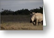 Safari Park Greeting Cards - Front View Of A White Rhino In Late Greeting Card by Robin Moore