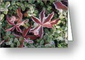 Cranberries Greeting Cards - Frosted Low-bush Cranberries Vaccinium Greeting Card by Rich Reid