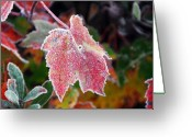 Maple Photographs Greeting Cards - Frosted Maple Greeting Card by William Carroll