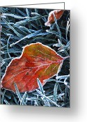 Covering Greeting Cards - Frosty leaf Greeting Card by Elena Elisseeva