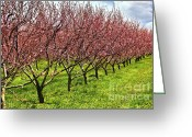 Peach Greeting Cards - Fruit orchard Greeting Card by Elena Elisseeva