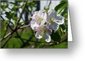 Homesickness Greeting Cards - Fruit Tree Blossoms Greeting Card by Douglas Barnett