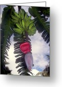Pods Greeting Cards - Fruitful Beauty Greeting Card by Karen Wiles
