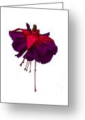 Fushia Greeting Cards - Fuchsia on White Greeting Card by Dawn OConnor