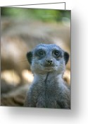 Standing Meerkat Photo Greeting Cards - Funny Meerkat Greeting Card by Design Windmill