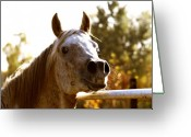 Arabian Photographs Greeting Cards - Funny Scamp Greeting Card by El Luwanaya Arabians