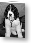 Spaniel Print Greeting Cards - Furball Greeting Card by Steve Harrington