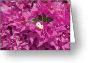 Fushia Photo Greeting Cards - Fushia Furry Greeting Card by Chris Andruskiewicz