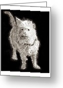 Dog Prints Drawings Greeting Cards - Fuzzy Molly Greeting Card by Jack Pumphrey