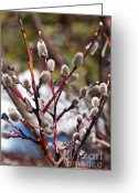 Pussy Willow Branches Greeting Cards - Fuzzy Wuzzy Greeting Card by Bob and Nancy Kendrick