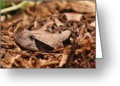 Snakes Greeting Cards - Gaboon Viper Greeting Card by Dana  Oliver