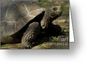Contemplation Greeting Cards - Galapagos giant tortoise  Greeting Card by Sami Sarkis